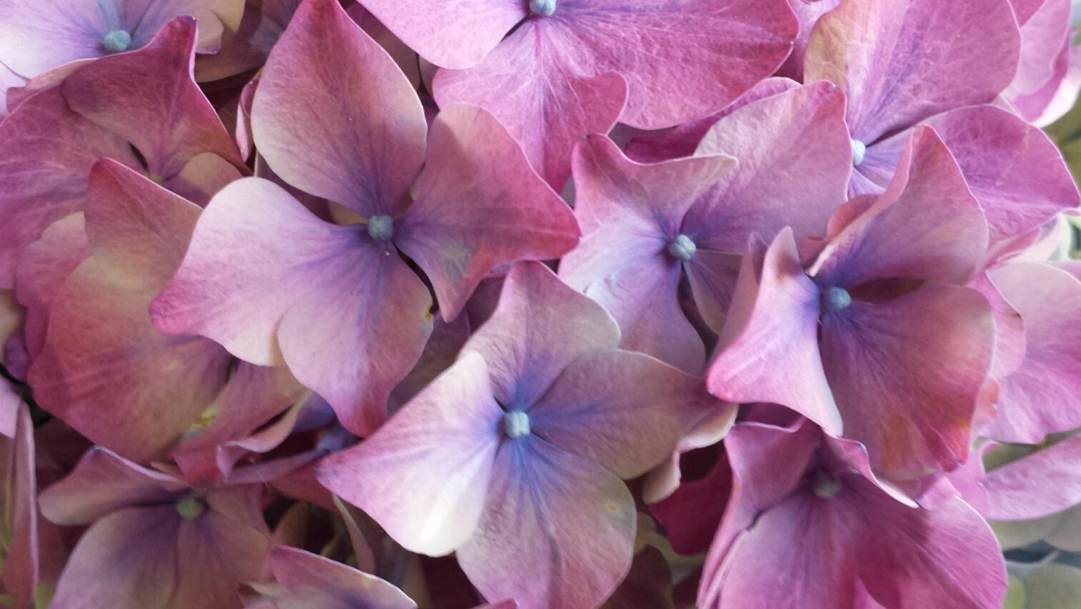 Hortensie-Blumenfee-Hilden